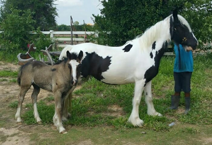 buster and ambre gyspy horse thailand 2