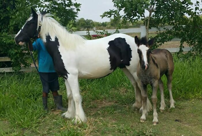 buster and ambre gyspy horse thailand