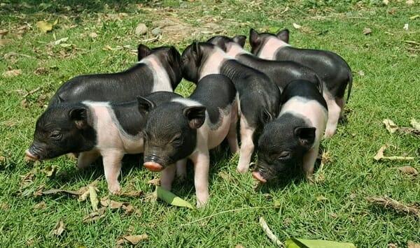 Miniature-Piglets-For-Sale-Thailand