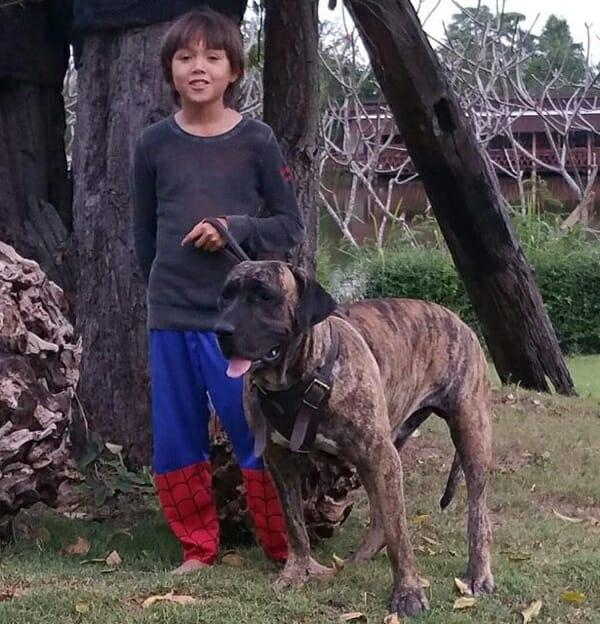 Fila-brasileiro-attack-dog-bitch