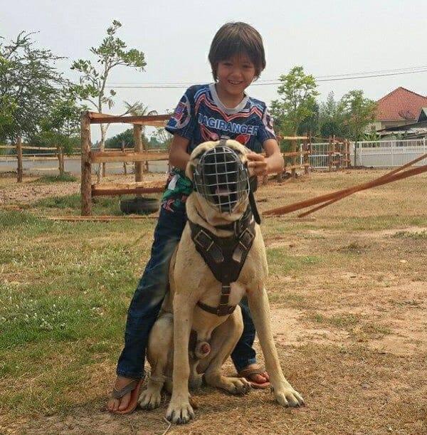 Fila-brasileiro-attack-dog