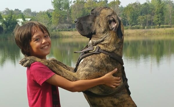 Fila-brasileiro-guard-dogs-thailand