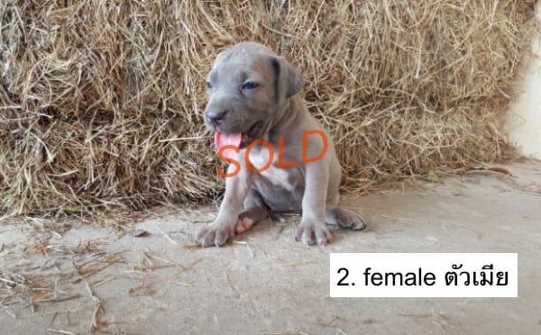 f2-Fila-brasileiro-puppies-thai