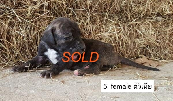 f5-Fila-brasileiro-puppy-buy