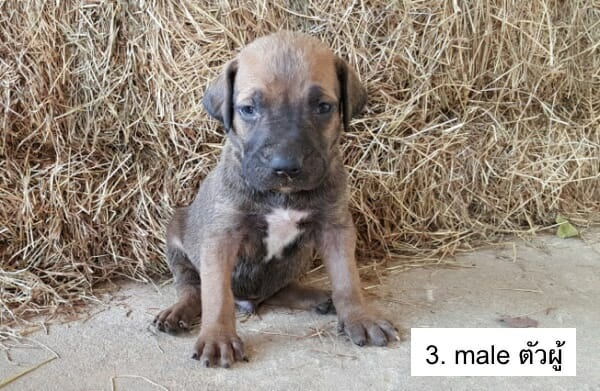 m3-puppy-buy-thailand