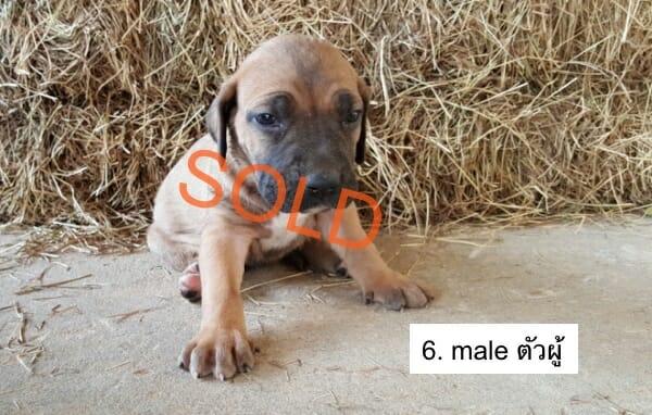 m6-Fila-brasileiro-thailand-puppie