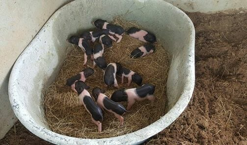 minature-pigs-for-sale-thailand