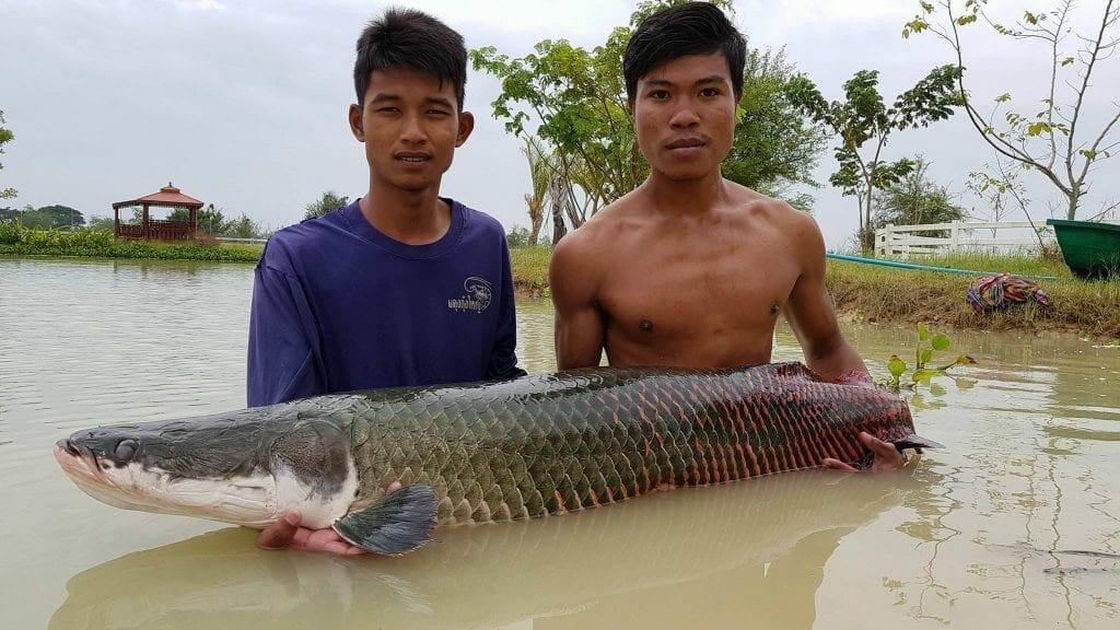 Arapaima Fishing   Arapaima Fishing In Thailand Leks Fishing Park Udon Thani